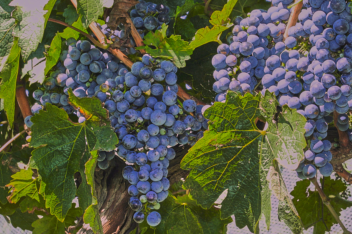 Cool climate wine grapes